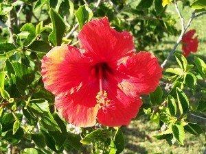 Hybiss_flower 142
