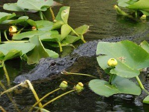 FL_Alligator