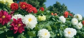 Potting Dahlias and Other April Gardening Tips