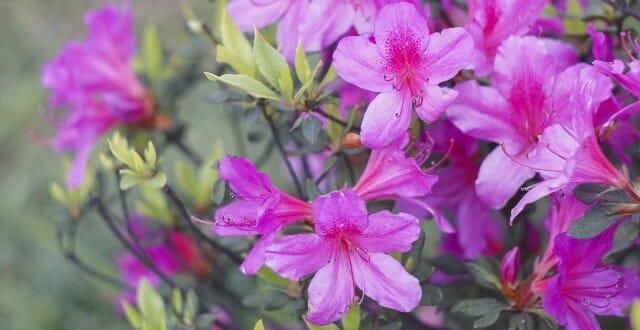 Celebrate Spring at the Azalea Festival!