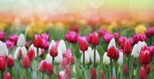 spring_tulips