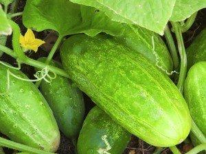 3_Cucumber