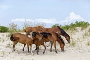 Chincoteague Wild Ponies