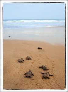 Hatchlings Heading for Sea, Outer Banks, NC