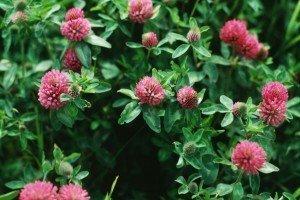 Gardening Tips - Garden Cover Crops - Red Clover