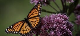 Monarch Butterflies Need Our Help