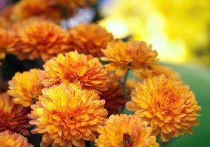 Fall Flowers - Chrysanthemum - Fall Gardening Tips