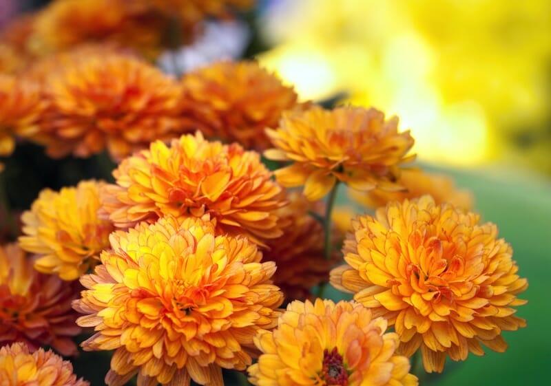 gardening fall flowers