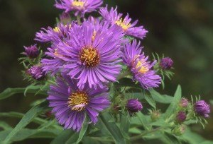 Gardening Tips - New England Asters - Best Places to Retire