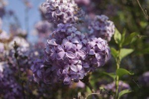 Purple lilac - Climate change - Best places to retire