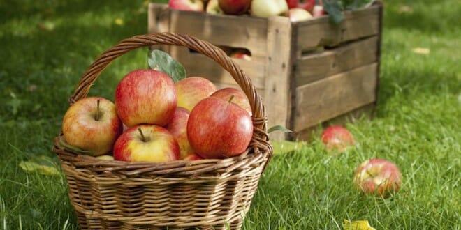 An Apple a Day … Apple Picking Season