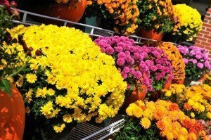 Best Places to Retire - Fall Gardening Tips - Mums