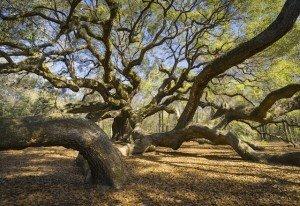 South Carolina Retirement Communities - Simmons Grove - Summerville SC - Angel Oak Tree - Johns Island