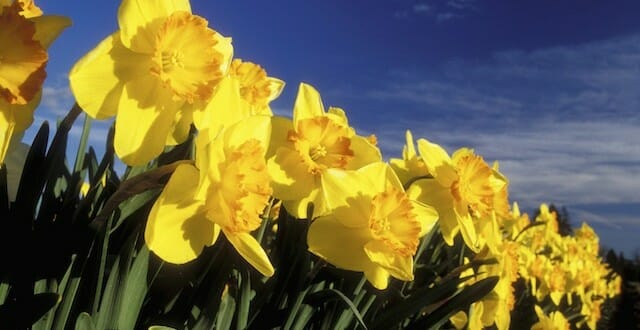 Daffodils For All Gardens