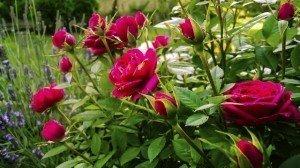 Gardening - Gardening Tips - Roses
