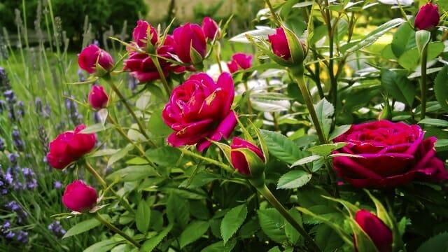 Gardening Tips Fall Care For Roses Community Garden Communities