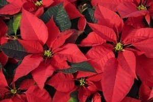 Christmas - Poinsettias