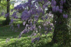 American Wisteria - Gardening