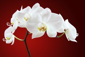 Gardening Tips - Winter Gardening Tips - Orchid