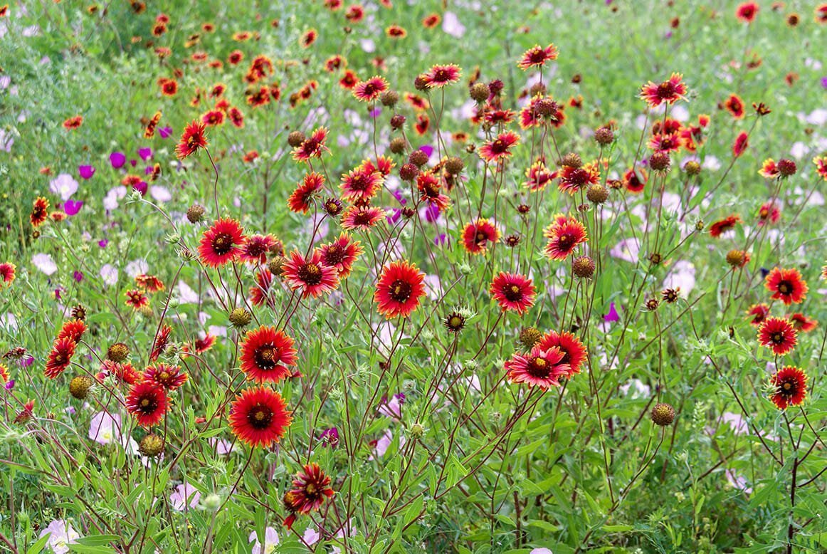 The Year Of The Gaillardia Planting Blanket Flowers Community Garden